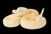 Albino western diamond rattlesnake,Crotalus atrox