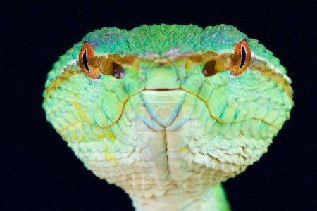 """Temple viper (Tropidolaemus wagleri """"Kalimantan"""")"""