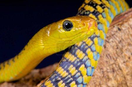 Jackson's Black Tree Snake  (Thrasops jacksonii)