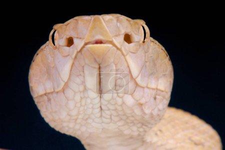 Tokara habu (Trimeresurus tokarensis )
