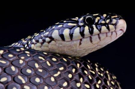 Lampropeltis getula holbrooki, Speckled King Snake, USA