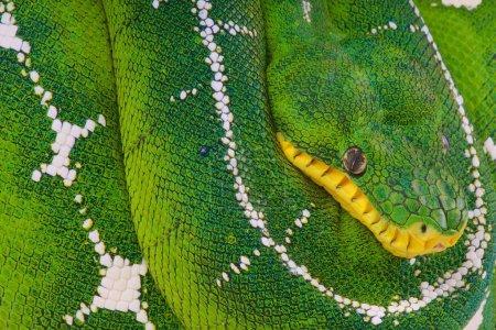 Photo pour Corallus batesii, Bassin amazonien Emerald Tree Boa, Brésil - image libre de droit