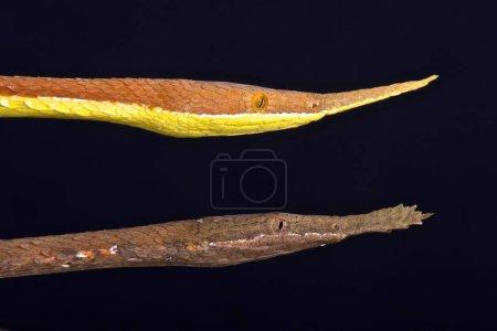 Madagascar leafnosed snake Langaha madagascariensis