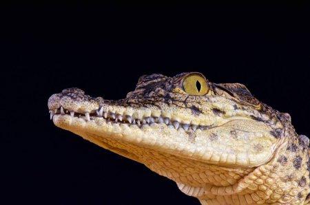 Crocodylus niloticus,Nile crocodile,Namibia