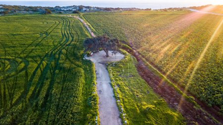 aerial view of green agricultural field with tire tracks and lonely tree on sunset, Cyprus