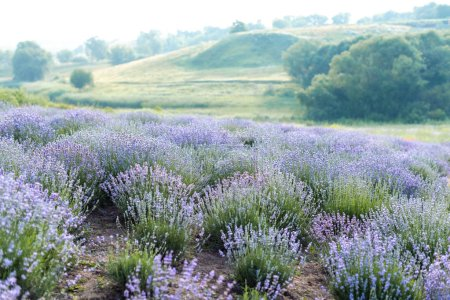 Photo for Beautiful purple lavender field with hills on background - Royalty Free Image