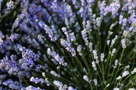 Photo pour Gros plan de belles fleurs de lavande pourpre dans le champ - image libre de droit