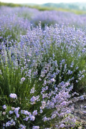 Foto de Flores de lavanda púrpura hermosa en campo en campo - Imagen libre de derechos