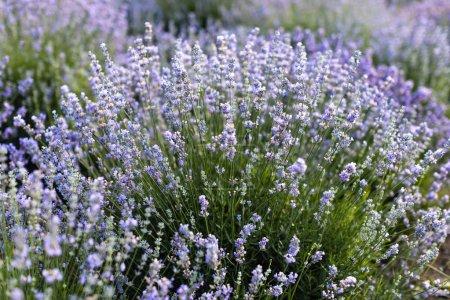 Foto de Flores de lavanda violeta hermoso en campo - Imagen libre de derechos