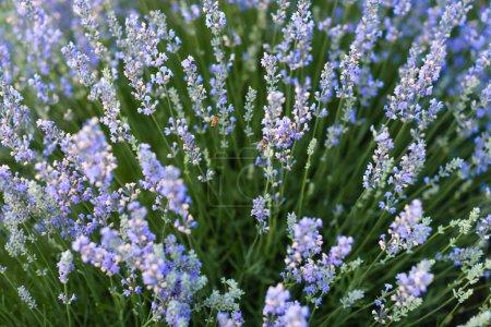Foto de Flores de lavanda púrpura hermosa en campo - Imagen libre de derechos