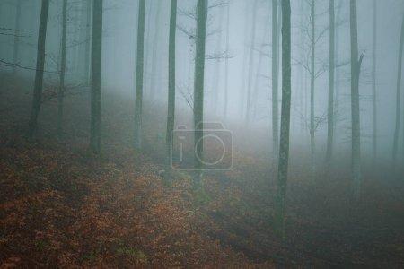 Photo pour Misty paysage de forêt de hêtres de montagne - image libre de droit