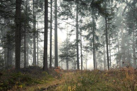Photo pour Paysage d'arbres des forêts brumeuses beau matin - image libre de droit