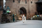 dog at the castle. Jack Russell Terrier in nature. Traveling with a pet, city, Europe