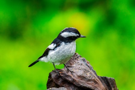 Photo pour Nature wildlife bird species of Little Pied Flycatcher on perched on a tree branch found in Borneo, Sabah,Malaysia with nature wildlife background - image libre de droit