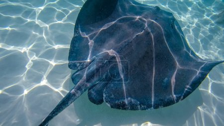 Photo pour Stingray City est une série de bancs de sable peu profonds trouvés dans le détroit du Nord de Grand Cayman, îles Caïmans. C'est une attraction touristique, où les raies du sud se trouvent en abondance et où les visiteurs peuvent caresser et interagir avec les animaux. . - image libre de droit