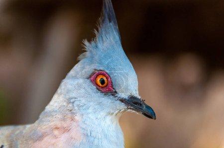 Photo pour Gros plan portrait de pigeon crêpé, colombe. Fond d'oiseau sauvage - image libre de droit