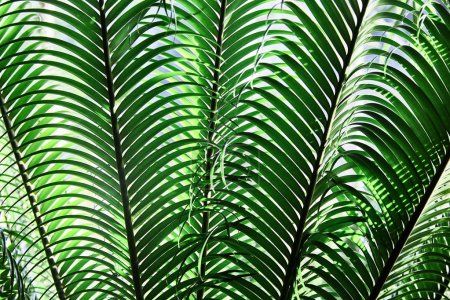 Green tropical leaves. Close-up. Background. Palm.