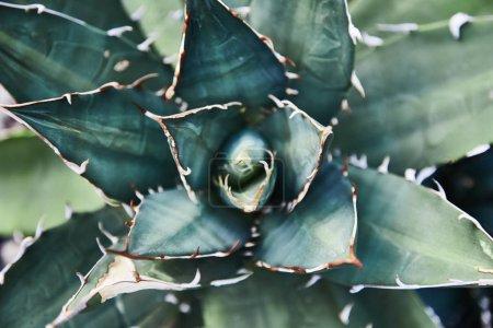 Foto de Cactus crasas verde. Close-up. Fondo. Hojas de una planta cerca. Jardín Botánico. Planta tropical - Imagen libre de derechos