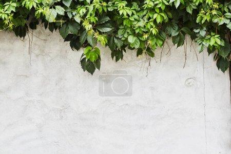 Foto de La planta de enredadera verde en la pared. Fondo. - Imagen libre de derechos
