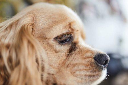 American Cocker Spaniel puppy side