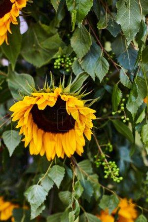 Photo pour Grand tournesol jaune avec graines mûres gros plan . - image libre de droit