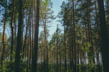 Photo pour Arbres de conifères de Waggling d'en dessous vue d'angle bas de secouant calmement de grands arbres à feuilles persistantes - image libre de droit