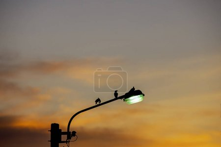 Photo pour Black silhouettes of birds on Street lighting and background sunset light reflected with the cloud. - image libre de droit