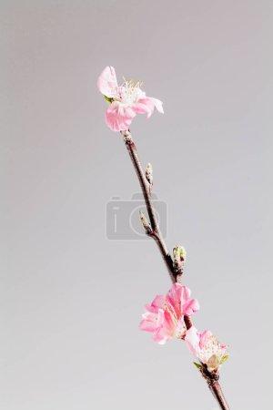 Nahaufnahme der rosa Kirschblüte auf einem Zweig auf dem Hintergrund
