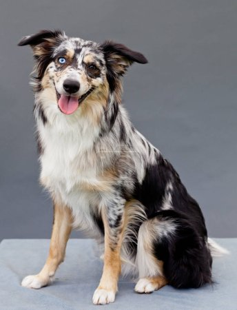 Australian Shepherd with one blue and one brown eye in studio with grey background
