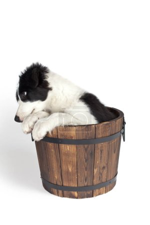 one bordercollie isolated on white in wooden bucket