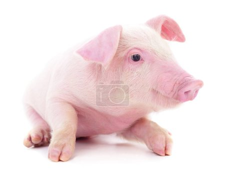 Small pink pig who is isolated on white background...