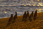 Magellanic Penguins at San Lorenzo colony, Argentina
