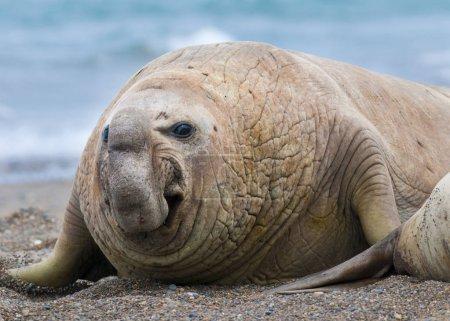 Elephant seal, Patagonia Argentina