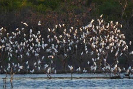 Egret birds on trees, La pampa, Argentina