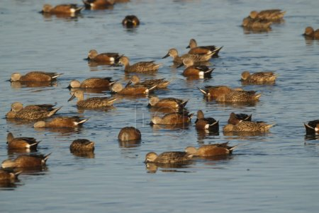 flock of ducks, La Pampa, Argentina