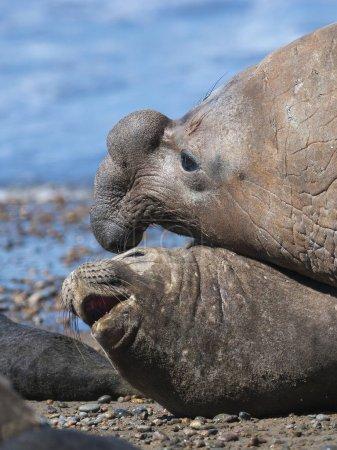 Elephant seals, Patagonia Argentina