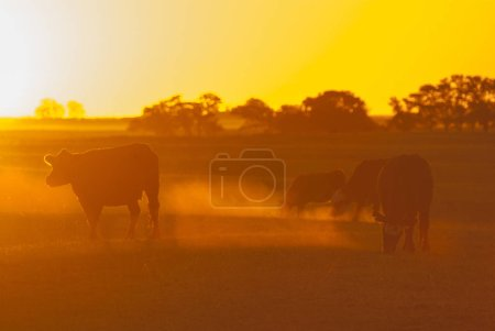 cows grazing with sunset on background