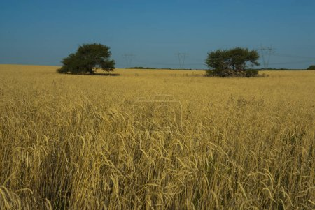 Photo for Wheat field under blue sky - Royalty Free Image