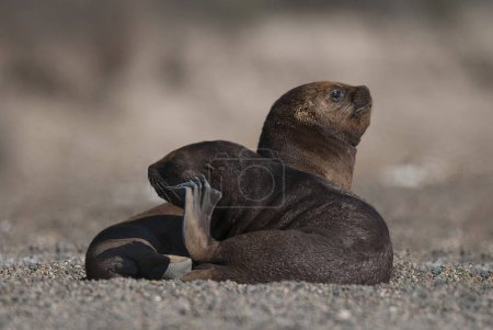 Photo for Sea Lions resting on beach - Royalty Free Image