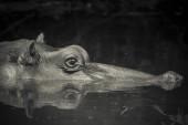 """Постер, картина, фотообои """"Бегемот в дикой природе, Южная Африка"""""""