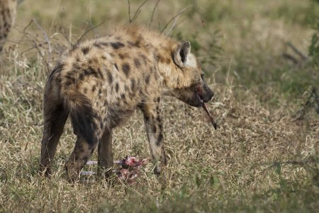 Hyena in wild nature of South Africa