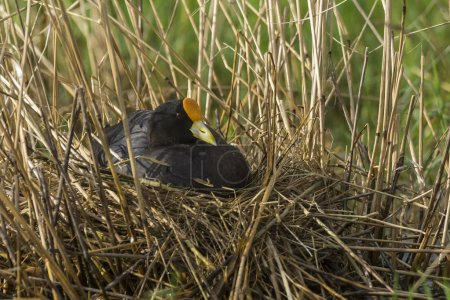 white winged coot in wild nature