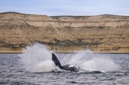 Southern Right Whale, Patagonia, Argentina