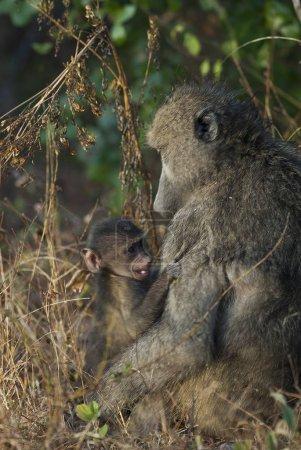 Photo pour Primates de babouin en nature sauvage, Afrique - image libre de droit