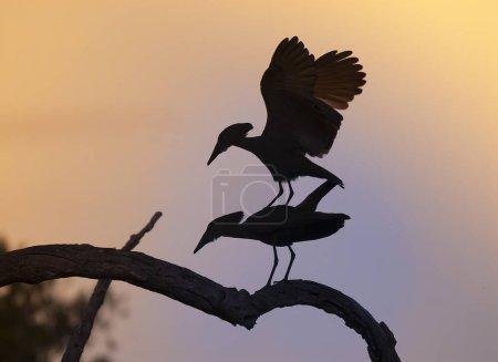Photo pour Hammerhead cigogne oiseaux sur arbre, Afrique du Sud - image libre de droit