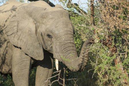Photo pour Éléphant d'Afrique, Afrique du Sud - image libre de droit