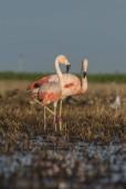 Flamingos on marsh, Patagonia Argentina