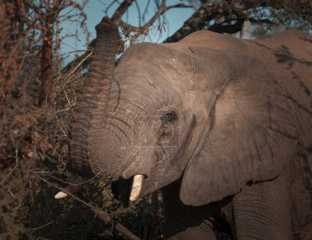 African elephant eating, South Africa