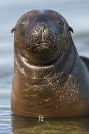 Sea Lion pup, Patagonia Argentina