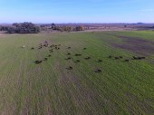 aerial view of Cows, Buenos Aires, Argentina